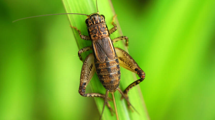 Fun Resource Guide on Crickets